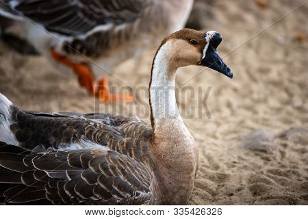 Portait Of Adult Chinese Goose On The Farm. Photography Of Nature And Wildlife.