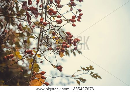 Rose Hip Nature Background. Nature Background Of Wild Rose Hip In Autumn. Rose Hip Nature Background