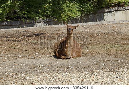 Single Brown Llama Resting Away In Farmyard, Sofia, Bulgaria