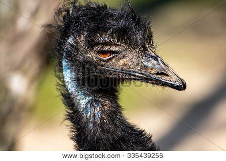Portrait Of Australian Emu (dromaius Novaehollandiae), View Of Neck And Head. Photography Of Nature
