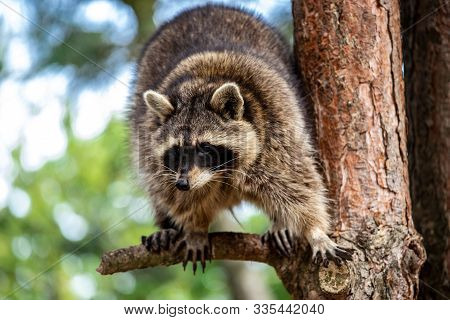 Full Body Of Adult Common Raccoon On The Tree Branch. Photography Of Lively Nature And Wildlife.