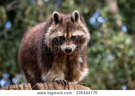 Portrait Of Adult Male Common Raccoon On The Tree Trunk. Photography Of Lively Nature And Wildlife.