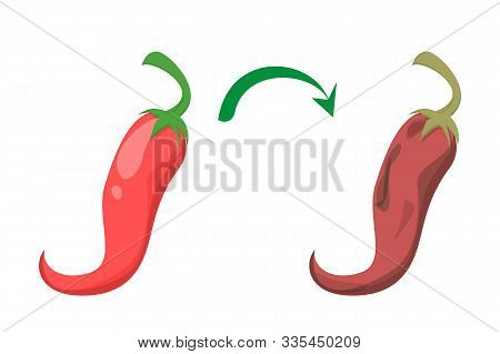 Fresh And Tasty Red Chili Pepper Become Bad Vector Isolated. Rotten Food Ingredient. Food Waste Conc