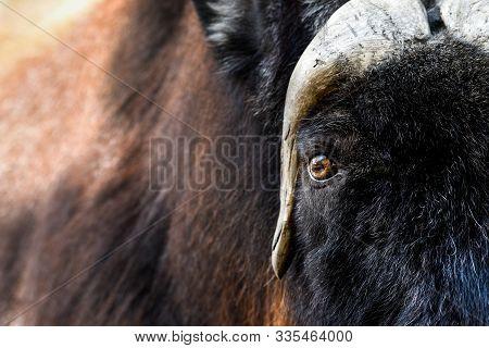 Close-up Portrait Of Muskox Or Ovibos Moschatus.