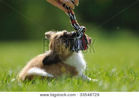 Chihuahua Puppy Play Game With Toy In Woman Hand