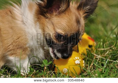 Chihuahua Puppy Plays With Toy