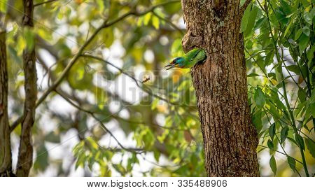 A Bird Taiwan Barbet Attack To One Asian Wasp From The Hole. Protect Nest