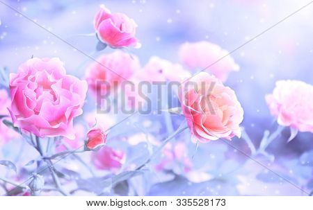 Beautiful magic winter scene with Sommerwind rose flowers of pink and magenta color and snow. Photo toned in blue color