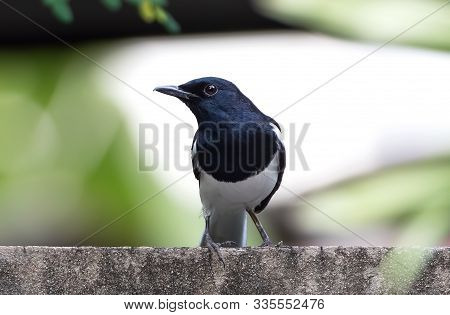 Closeup Oriental Magpie Robin Perched On The Wall Isolated On Background