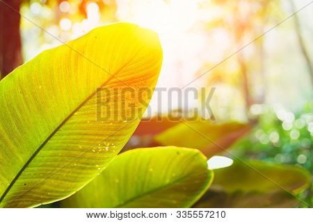 Green Leaves Rainforest Plant With Sun Light Nature Science Of Photosynthesis And Chlorophyll.