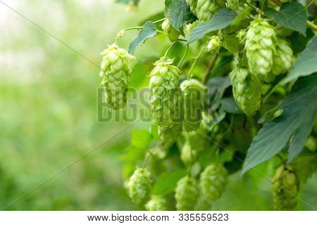 Green Hop Cones For Beer And Bread Production, Closeup. Detail Hop Cones In The Hop Field. Agricultu