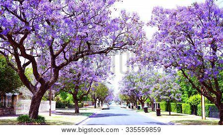 Beautiful Purple Flower Jacaranda Tree Lined Street In Full Bloom.