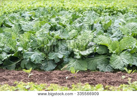 Kale Cabbage. Winter Cabbage Also Known As Italian Kale Or Lacinato Growth In Row. Ogranic Cabbage M