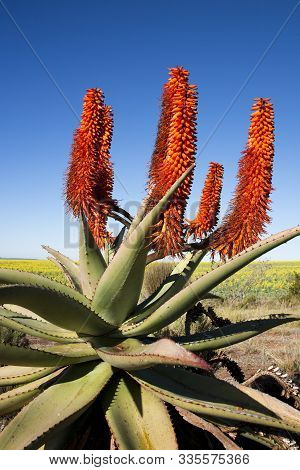 Close-up Of Aloe Ferox Plant With Background Of Rapeseed, Garden Route, South Africa. Aloe Ferox Is