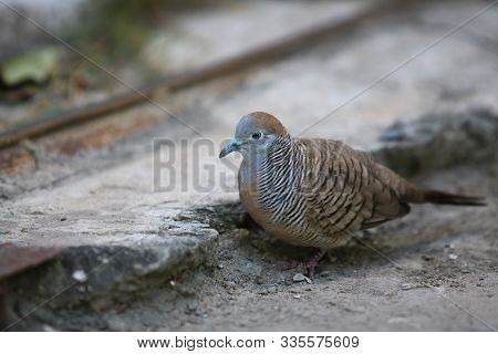 Closeup Spotted Dove Or (spilopelia Chinensis) Looking For Food And Green Eye,closeup Spotted Dove O
