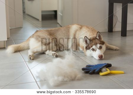 Siberian Husky Lies On Floor In Pile Of His Fur And Dog Comb. Concept Annual Molt, Coat Shedding, Mo
