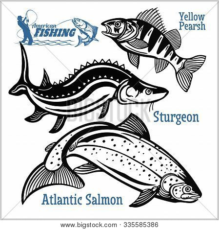 Yellow Pearsh, Sturgeon And Atlantic Salmon - Fishing On Usa Isolated On White