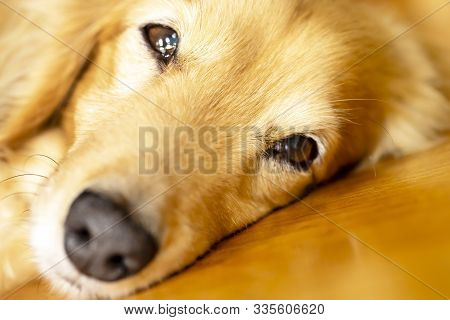 Pretty Dachshund Sleeps Sweetly On The Flooring.close Up Of The Face Of The Dog.he Looks Into The Ca