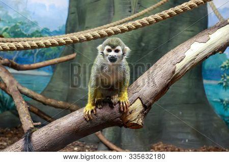 A Monkey - Saimiri Sciureus In Zoo