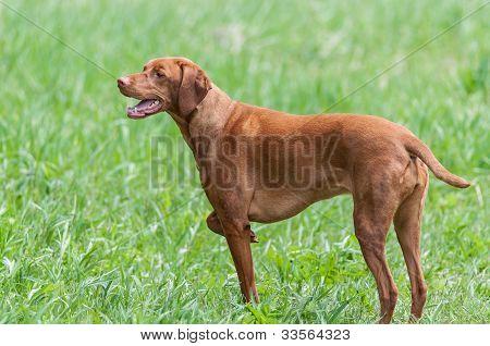Happy Looking Vizsla Dog Standing In A Green Field