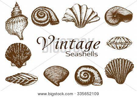 Big Seashell Collection. Vintage Hand Drawn Set Of Various Beautiful Engraved Mollusk Marine Shells