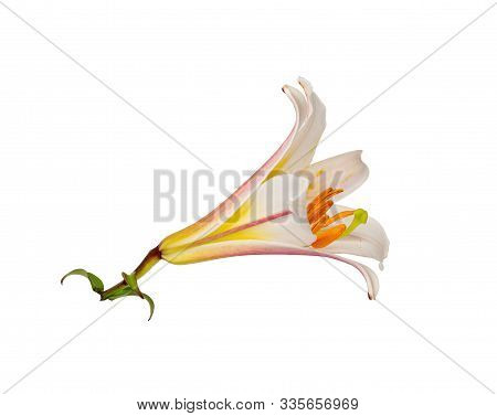 White Lily Flower Without Background