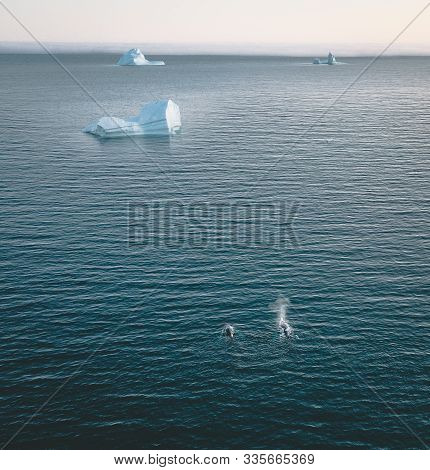 2 Humpback Whale Dive Near Ilulissat Among Icebergs. Their Source Is By The Jakobshavn Glacier. The