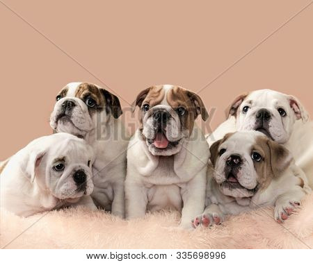 Five Charming English Bulldog Puppies On Pink Peach Background. Litter Of Puppies , Selective Focus