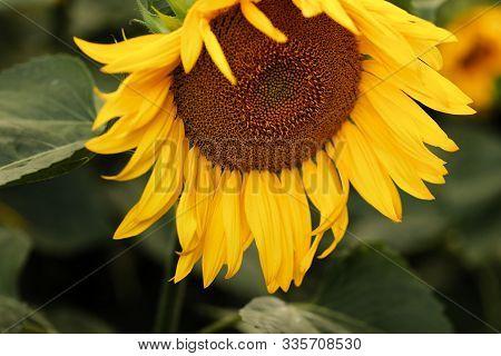Sunflower Field. Sunflower Natural Background. Sunflower Blooming. Close-up Of Sunflower.