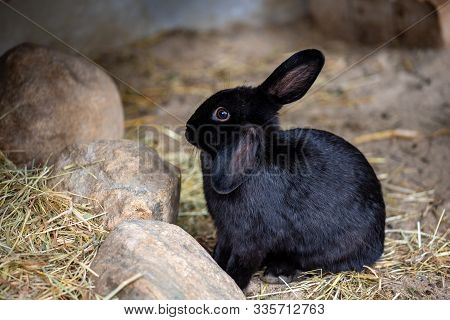 Full Body Of Black Domestic Pygmy Rabbit. Photography Of Lively Nature And Wildlife.