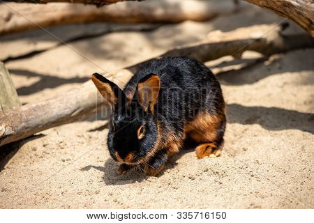 Full Body Of Black-brown Domestic Pygmy Rabbit. Photography Of Lively Nature And Wildlife.