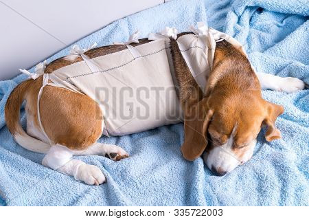 Beagle Dog Lying After Surgery. Veterinary Theme.