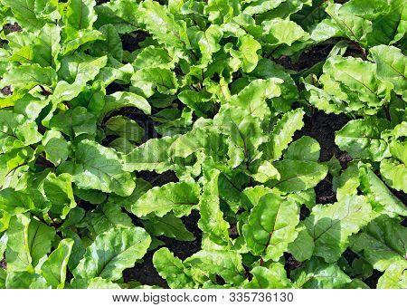 Beet Leaves. Beetroot Leaves, Fresh Beet Leaf Us Background. Beet Green Leaves In Field. Beet Leaves