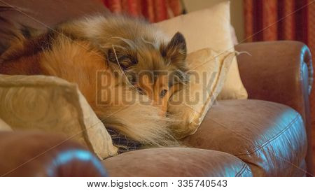 Our Spoilt Naughty Rough Coated Collie Sleeping On The Expensive Leather Couch