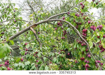 Prunus Spinosa Berries On Branch. Broken Off Under Weight Of Berries Branch. Large Amounts Of Plums