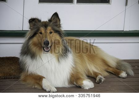 Our Beautiful Young Pedigree Rough Coated Black And Sable Collie Posing On The Deck