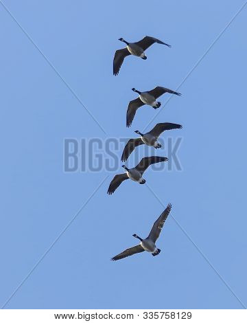 Flock Of Geese In Formation. A Flock Of Canadian Geese Flying Up In The Clear Blue Sky In North Idah