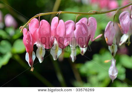 Blooming Ditsentra.