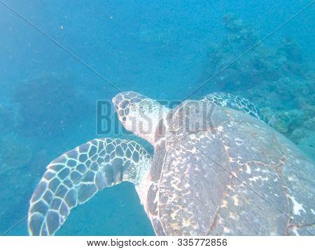 Turtle Swimming Away From Liberty Wreck At Tulamben On Bali