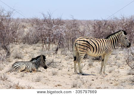 One Littel Baby Zebra Lying In The Bushland And A Taller One Is Standing Next To It. Two Zebras In N