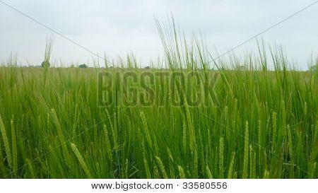 Ripening Wheat