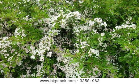 Cow Parsley in a Lincolnshire Meadow