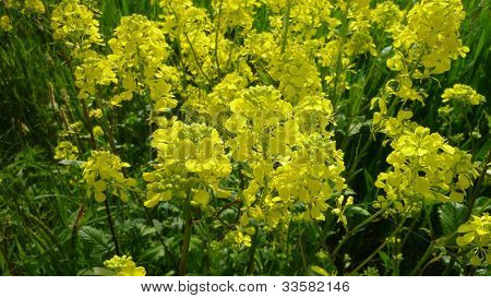 A Canola / Rapeseed Plant in Lincolnshire UK