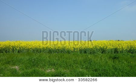 A Canola / Rapeseed Field in Lincolnshire UK