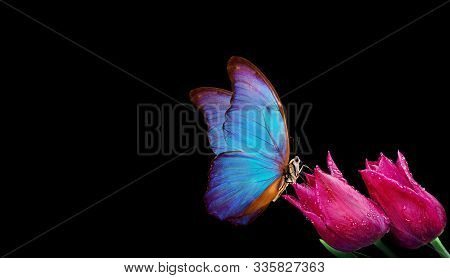 Beautiful Blue Morpho Butterfly On A Flowers On A Black Background.tulip Flowers In Dew Drops Isolat