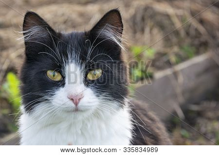 Black And White Cat Sitting In A Green Garden. Yellow Eyes Cat Outdoor In Daylight Sitting On A Wood