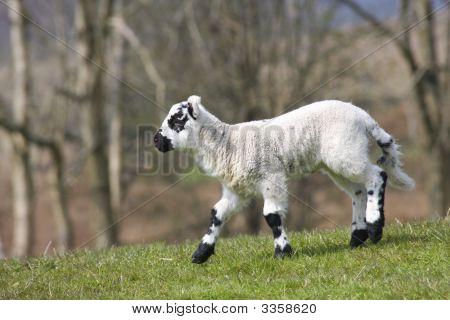 Lamb Running