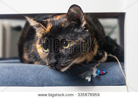 Close Up Of Tortoiseshell Cat. Tortoiseshell Cat Portrait. Close Up Of Tortoiseshell Cat On Chair. C