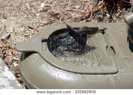 Black Bird In Plastic Bird Bath Water
