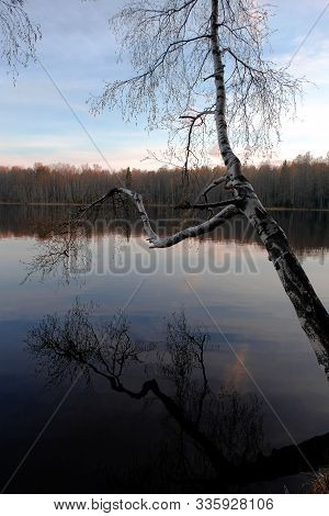 Still Lake And Birch Tree Hanging Over And Reflecting In The Water Surface.